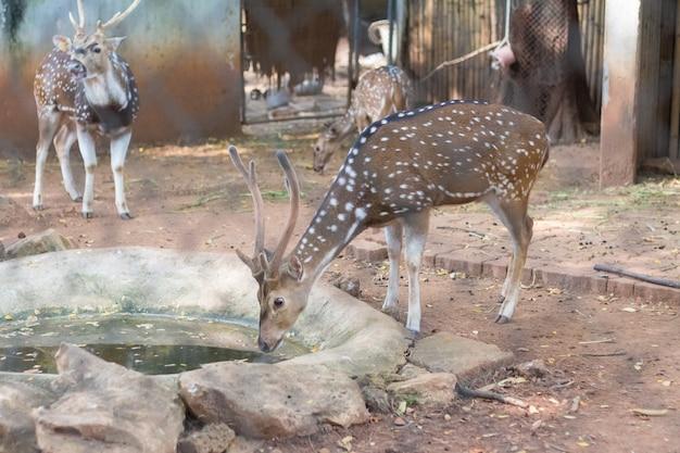 タイの動物園に住んでいる斑点鹿または軸鹿としても知られているキタルまたはcheetal Premium写真