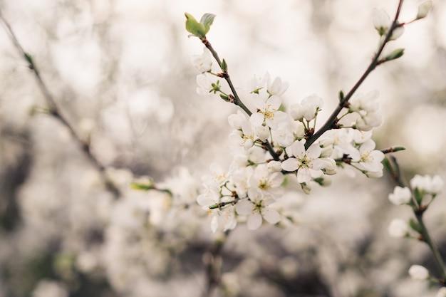 桜の枝 Premium写真