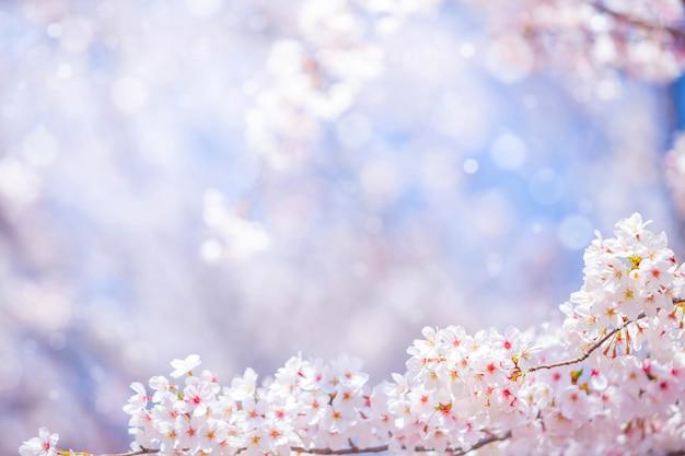 텍스트 배경 또는 복사 공간 봄 벚꽃 꽃 프리미엄 사진