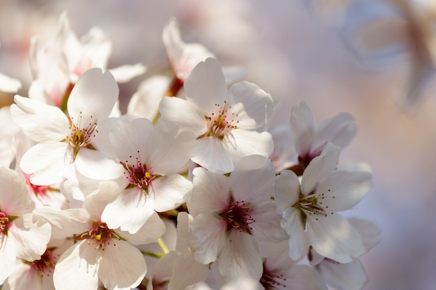 Cherry blossom flowers blooming on a tree Free Photo