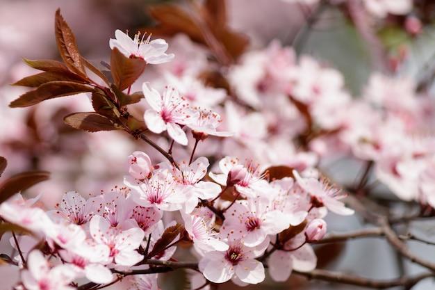 Fiori di ciliegio in fiore che sbocciano su un albero Foto Gratuite