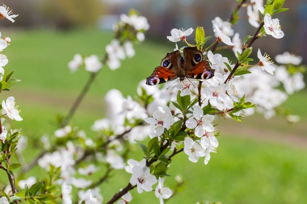 Cherry blossom in the garden in the spring and butterfly on it Premium Photo