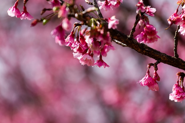 Cherry blossom and sakura wallpaper Premium Photo