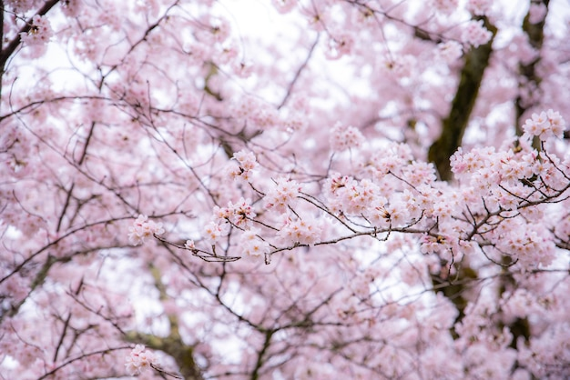 Cherry blossom in spring with soft focus, sakura season in south korea or japan. Premium Photo