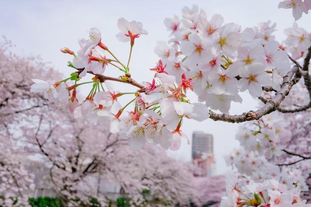 自然の中の桜の木 Premium写真