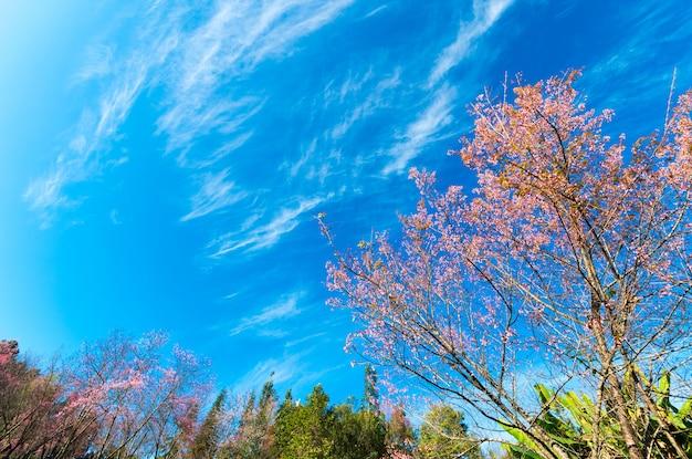 Cherry blossom trees at doi pha tang palace, chiangmai thailand. Premium Photo