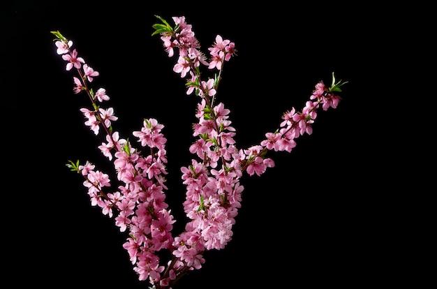Cherry blossoming twig on black Premium Photo