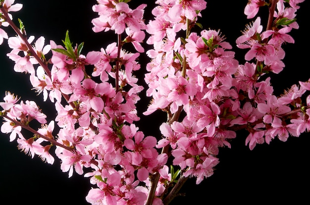 Cherry blossoming twig Premium Photo