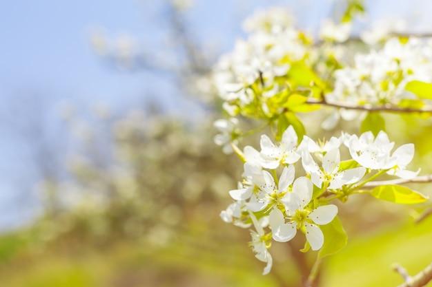 Cherry blossoms over blurred nature Premium Photo