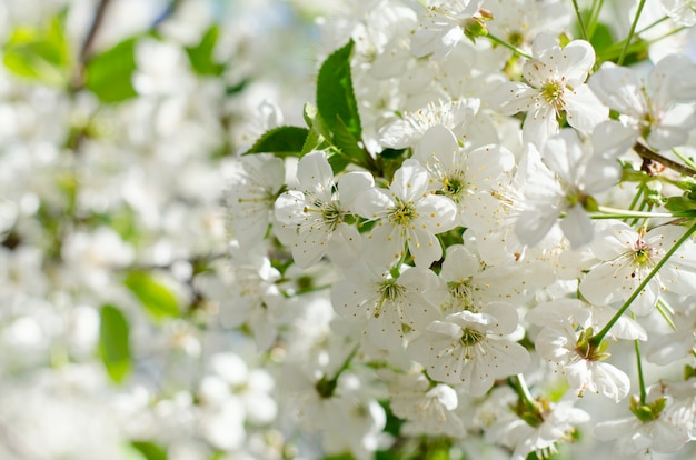 Cherry tree blossoms. white spring flowers close-up. soft focus spring seasonal background. Premium Photo