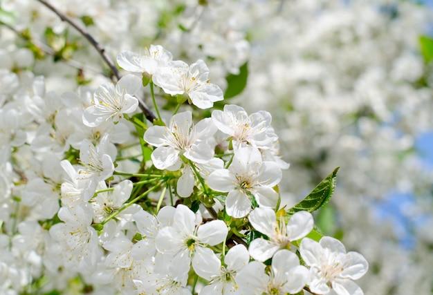 Cherry tree blossoms. white spring flowers close-up. soft focus spring seasonal background. Premium Photo