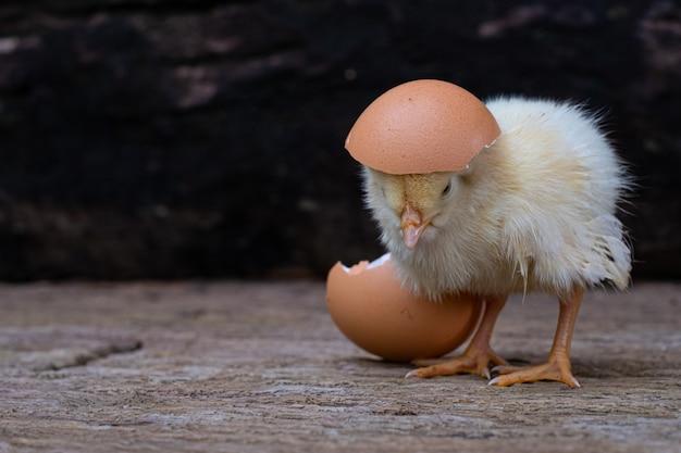 古い木の表面で卵と卵殻から孵化する鶏 Premium写真