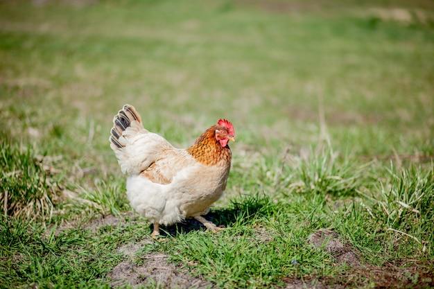 Цыпленок в траве на ферме. оранжевая куриная курица на прогулке по траве Premium Фотографии