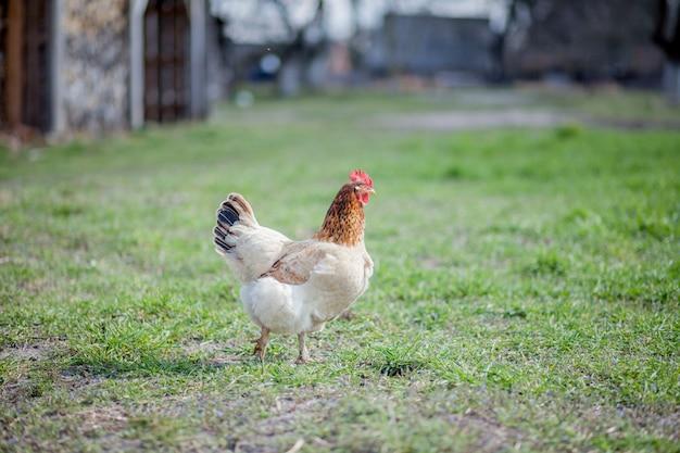 Цыпленок в траве на ферме Premium Фотографии