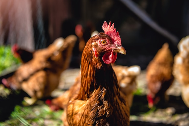 Chickens on poultry farm Premium Photo