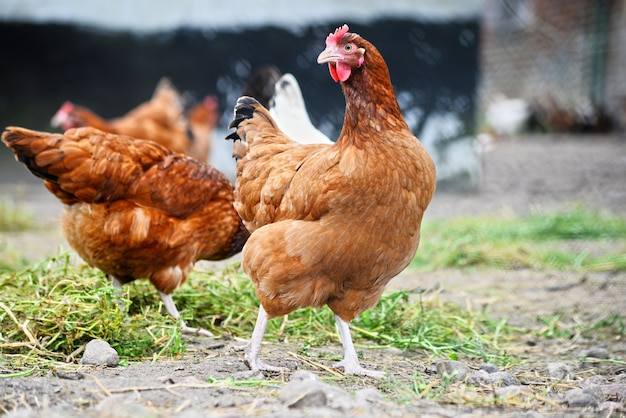 Chickens on traditional free range poultry farm Premium Photo