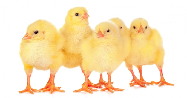 Chicks in front of white background. Premium Photo