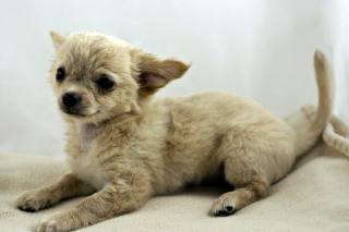 Chihuahua, bark, puppy Free Photo