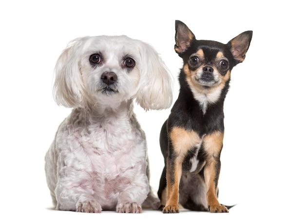 Стоят чихуахуа и мальтийские собаки Premium Фотографии
