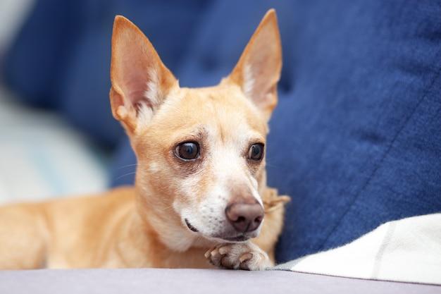 自宅のチワワは、リビングルームの青いソファに横たわっています。ソファで寝ている生inger犬。ソファで休んでいるペット。かわいい犬。落ち着いたスマートな犬は、快適なソファに横たわり、仕事から飼い主を待ちます。ペットのコンセプト Premium写真