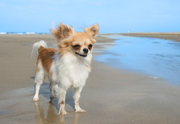 Chihuahua on the beach Premium Photo