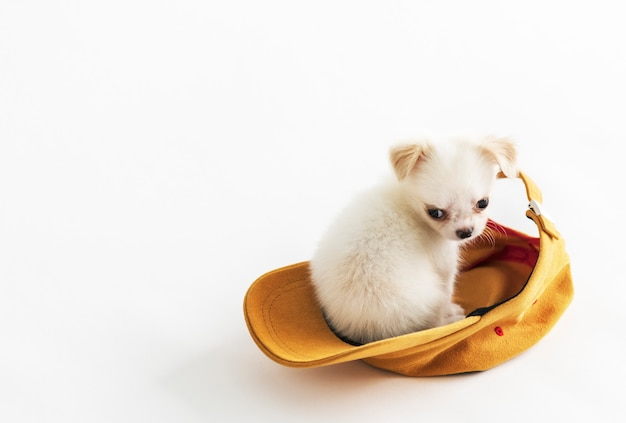 Chihuahua cute pet lovely animal cap concept Free Photo