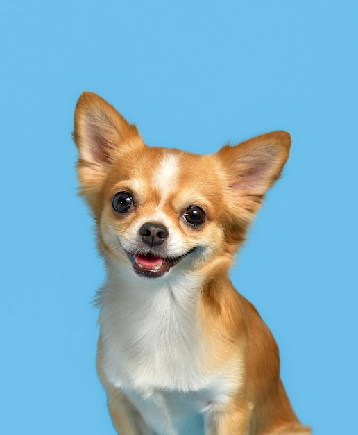 Chihuahua dogs that brown sitting on  blue Premium Photo