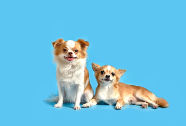 Chihuahua dogs  two browns on blue. Premium Photo
