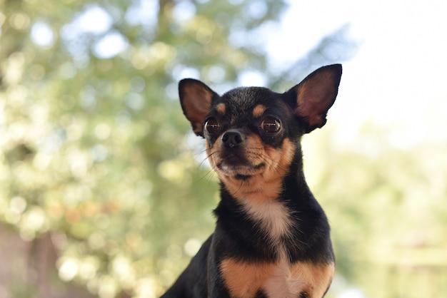 Чихуахуа сидит на скамейке. довольно коричневая собака чихуахуа Premium Фотографии
