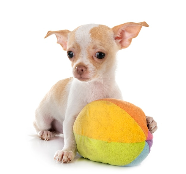 Chihuahua isolated Premium Photo