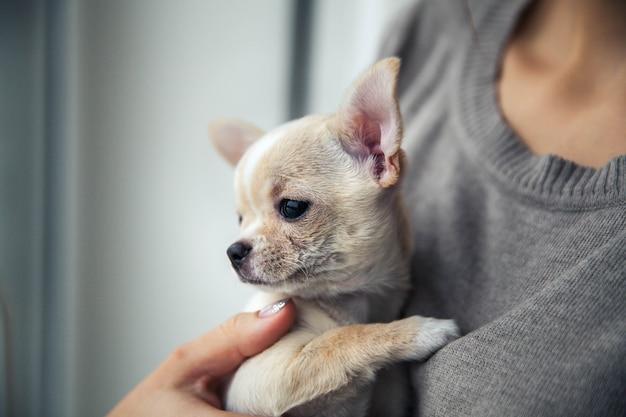 素敵なマニキュアを持つ女の子の手にチワワの子犬。 Premium写真