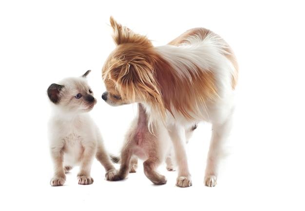 Chihuahua and siamese kitten Premium Photo
