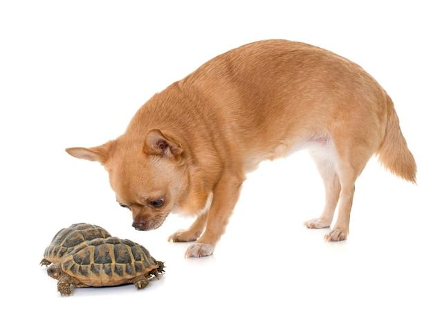 Chihuahua and tortoise Premium Photo