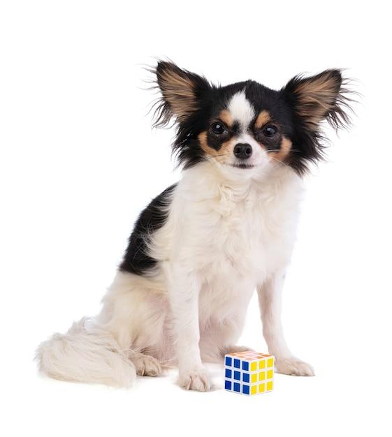 白い背景の上のキューブパズルとチワワ Premium写真