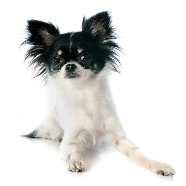 Chihuahua Premium Photo