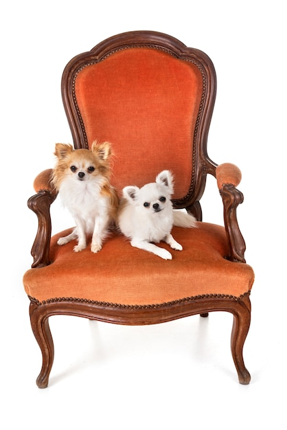 Chihuahuas on armchair Premium Photo