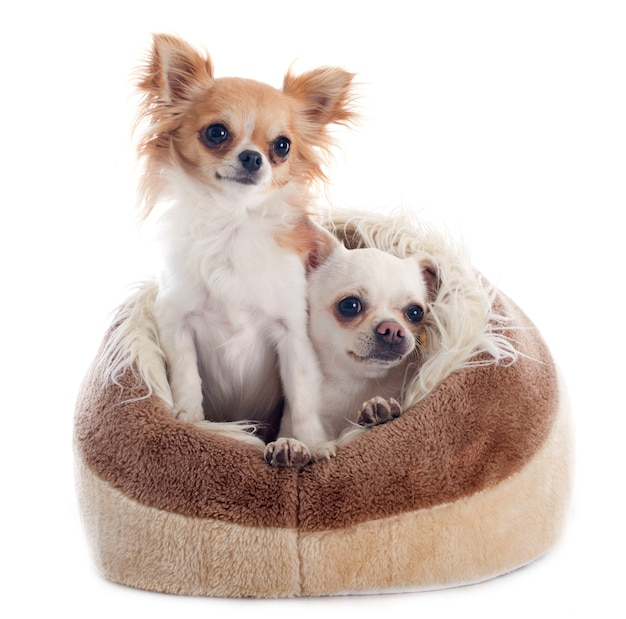 Chihuahuas in dog bed Premium Photo