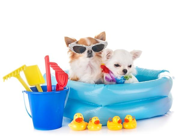 Chihuahuas in holidays Premium Photo