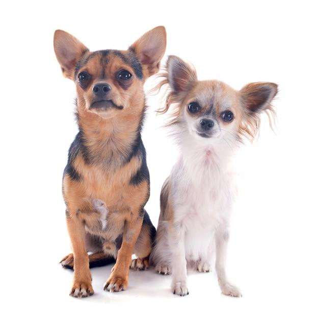Chihuahuas Premium Photo