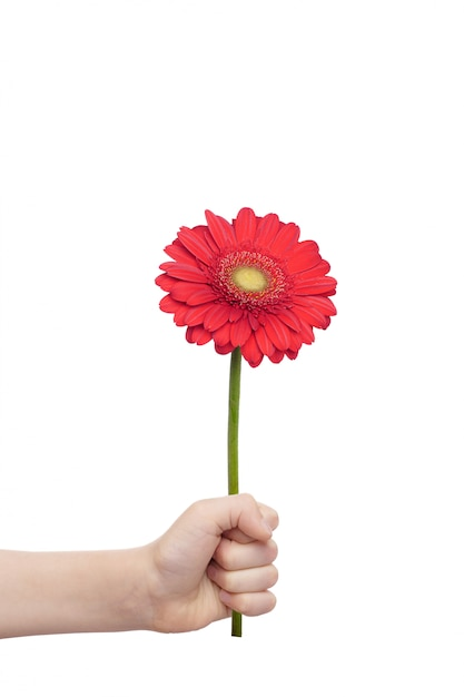 Child hand holding a gerberas flower isolated in white background. moters day concept. Premium Photo