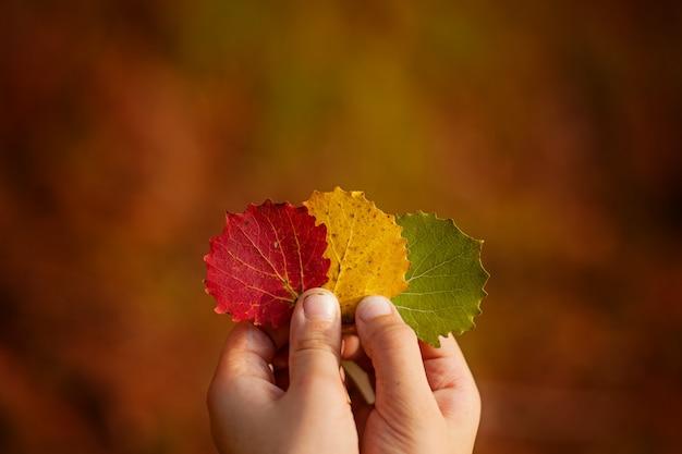Child hands holding a three colorful autumn leaves. autumn. Premium Photo