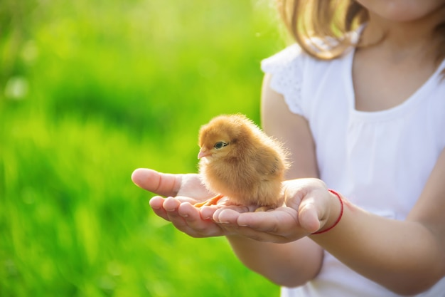The child holds a chicken in his hands. selective focus. Premium Photo