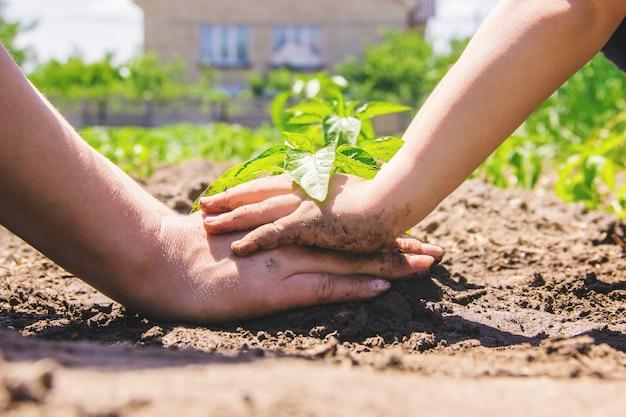 A child plants a plant in the garden. selective focus. Premium Photo