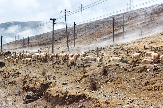 China southwest landscape snow mountain with grazing sheep and goats on fog in the sidewalk Premium Photo