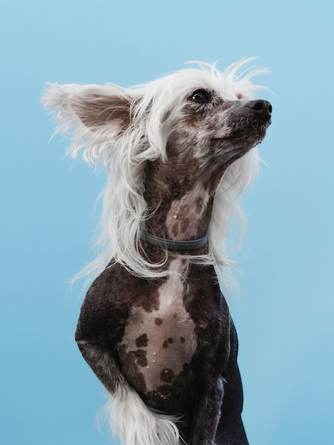 Chinese crested breed looking away and blue background Free Photo