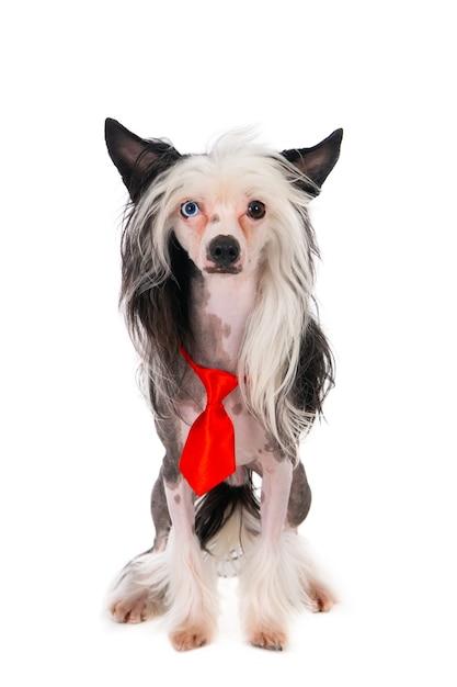 Китайская хохлатая собака в красном рождественском галстуке. изолированные на белом. Premium Фотографии