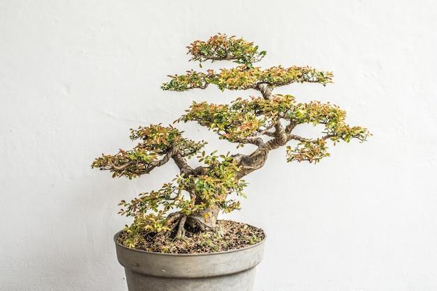 Chinese el tree bonsai Premium Photo