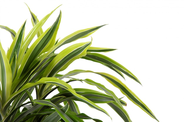 Chlorophytum - evergreen perennial flowering plants Premium Photo