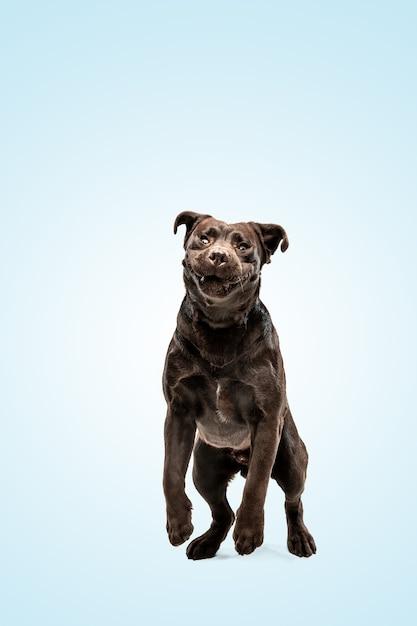 チョコレートラブラドールレトリバーdogindoors青い壁の上の面白い子犬。 無料写真