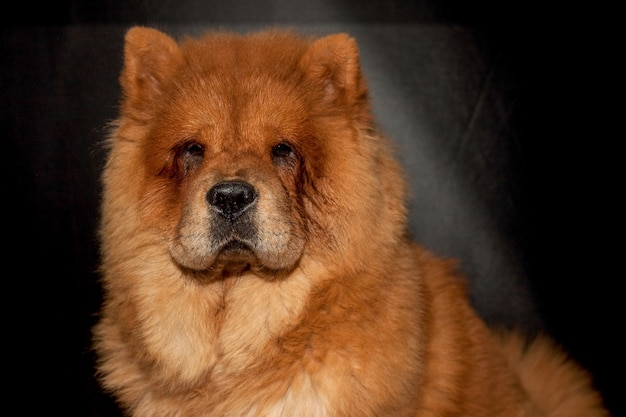 Chow chow in front of a black Premium Photo